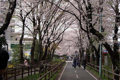 Sakura1.jpg