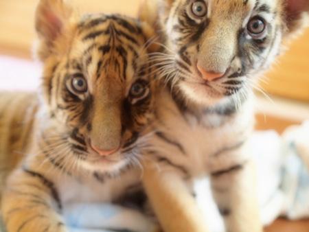 トラの赤ちゃん達です( ´艸`)♪♪