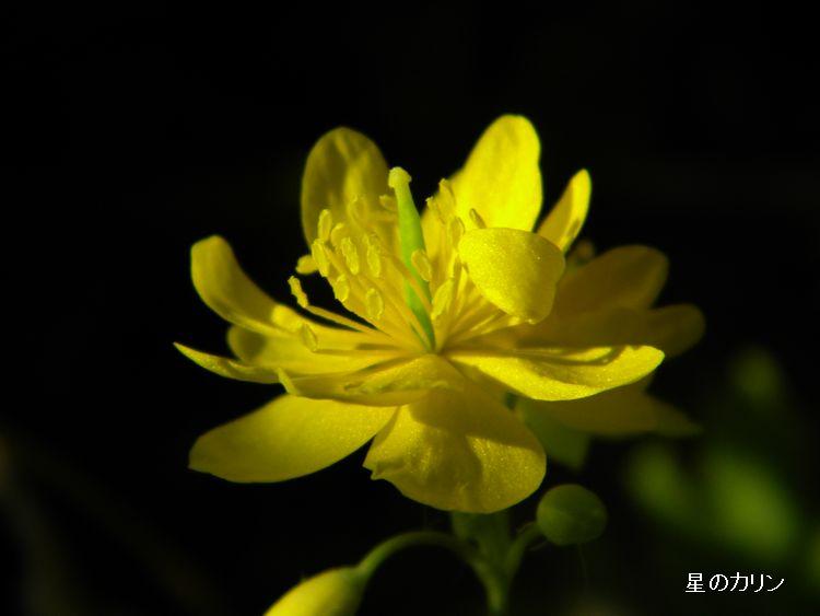 クサノオオ 八重咲き