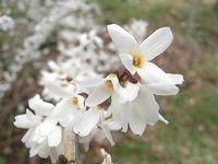 ウチワノキの花
