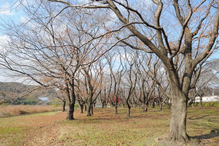 1359桜の葉っぱもすっかり落ちちゃった。
