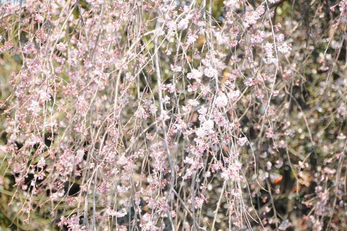 28425日の滝桜