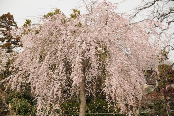3256三春の種から発芽した、Fetchi!の滝桜