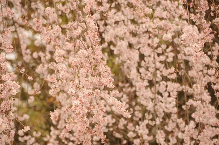 3120滝桜