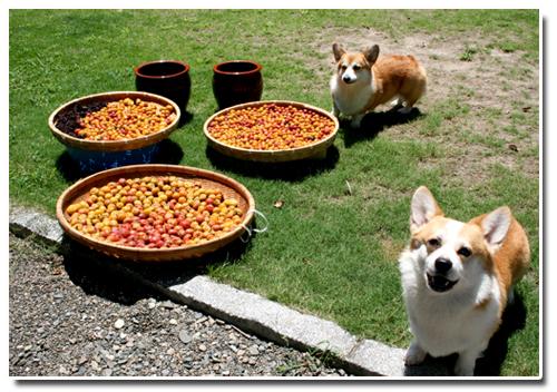 梅干し作りのお手伝い