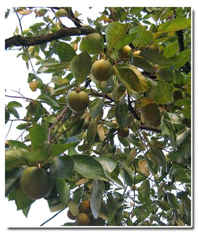 2010-0918渋柿