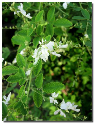 2010-0918萩の花
