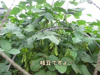 枝豆がびっしり