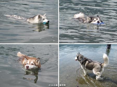 泳ぐハスキーズ