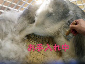 毛刈りされるトリュフ羊