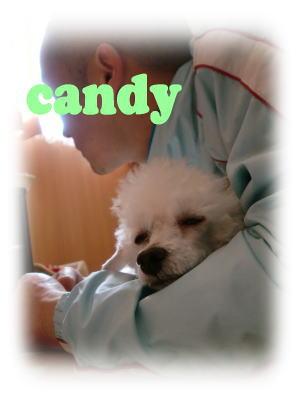 トイプードル キャンディ