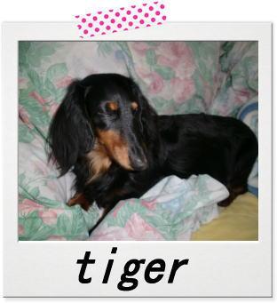 ダックスフンド タイガー