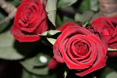 深紅のバラのように!