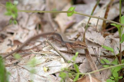 20120510カナヘビ2