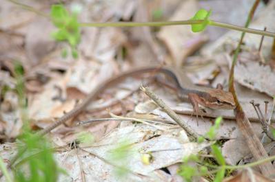 20120510カナヘビ1