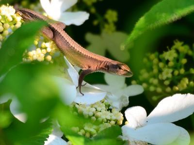 20120527ニホンカナヘビ