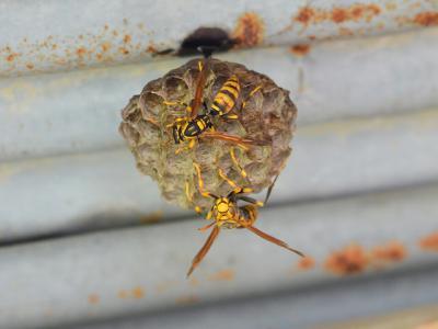 20120708アシナガバチ