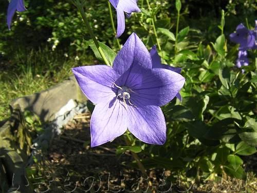 日本の秋の花のキキョウ[萬葉植物園]