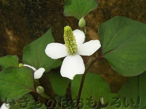 ドクダミの「花」[堺市都市緑化センター]
