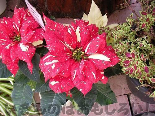 ポインセチアの「花」[花の文化園]
