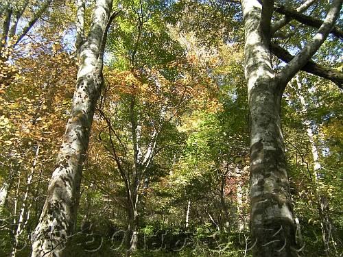 金剛山遊歩道のほんのちょっと紅葉したブナ林