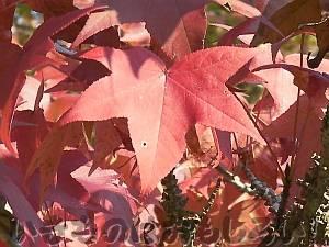 紅葉した葉っぱ