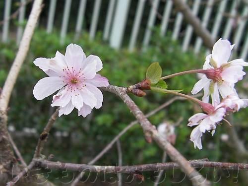 11月に咲いている十月桜[花の文化園]