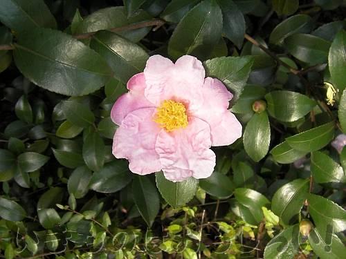 咲き始めた近所のサザンカ(ピンク)