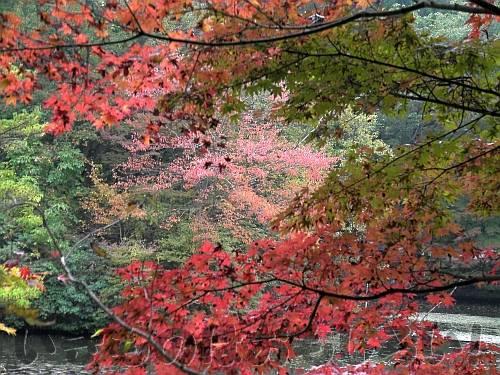 長谷池の紅葉しているイロハモミジからすかして見る対岸のイロハモミジ
