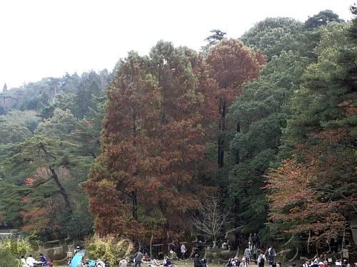 長谷池の褐葉しているラクウショウの大木