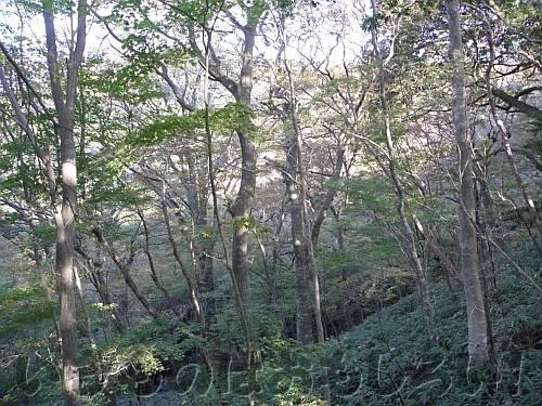 和泉葛城観察デッキから見たブナ林