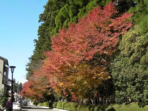 壇上伽藍の高野槙・杉と紅葉