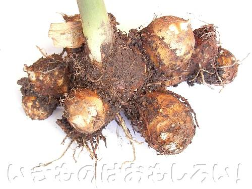 親芋子芋の関係がわかりやすい計10個のサトイモ