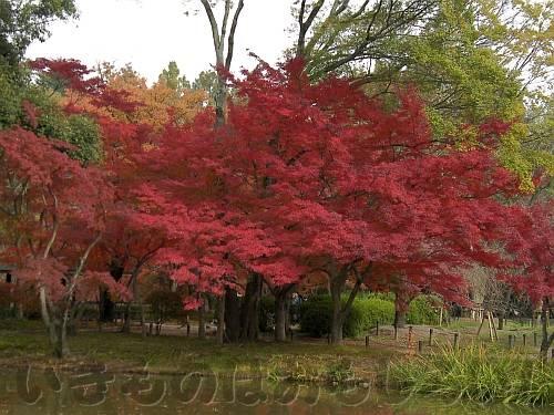 真っ赤に燃える「なからぎの森」のイロハモミジ