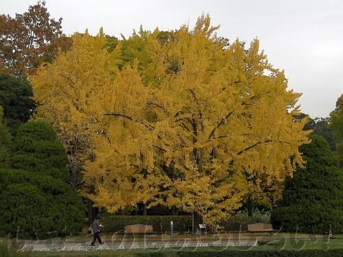 黄色に染まる温室前の大イチョウ