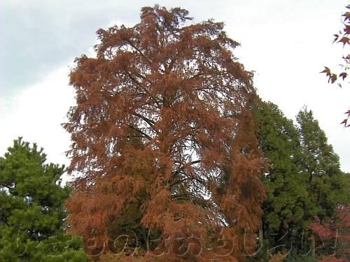 栗色の葉のヌマスギ