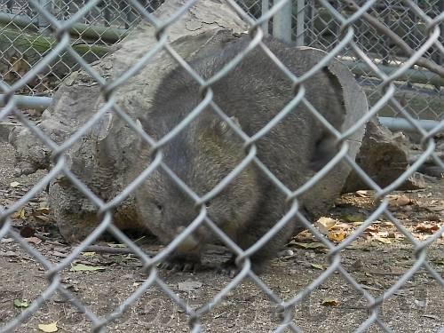 五月山動物園のウォンバットその1(2009年11月)
