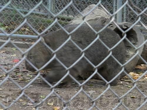 五月山動物園のウォンバットその2(2009年11月)