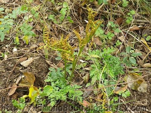 シダ植物門ハナヤスリ科ハナワラビ属フユノハナワラビ