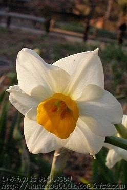 スイセンの花(1月初旬)