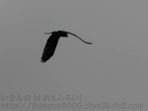 京都の空を舞うワシ・タカ類の鳥