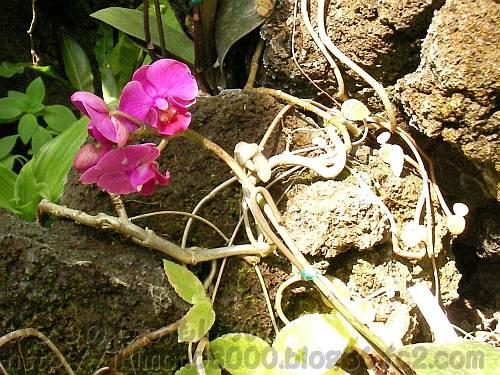 胡蝶蘭の花と茎 ソゴーW[咲くやこの花館2011年1月]