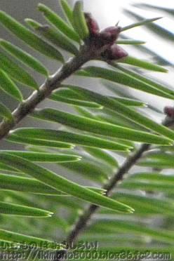 京都府立植物園のモミの巨木の葉