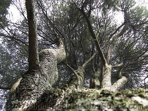 京都府立植物園のレバノン杉の巨木
