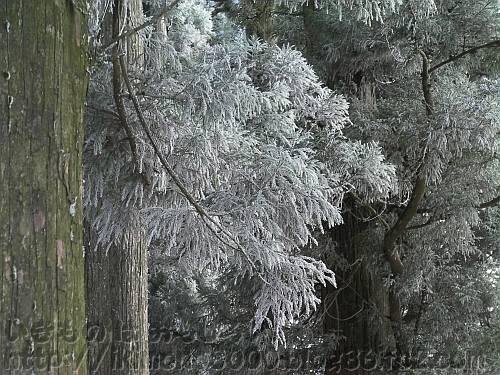樹氷で白くなった金剛山山頂広場の杉