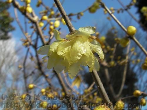 うすい黄色でちょっとしわしわのソシンロウバイの花