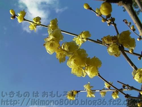 青空に映える薄黄色のソシンロウバイの花
