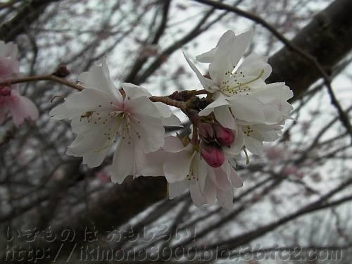 1月のジュウガツザクラの花