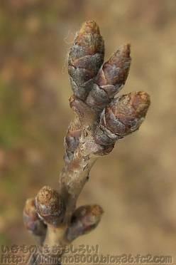 咲くまでまだまだのソメイヨシノ