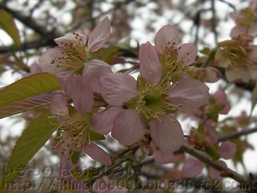なんとか間に合ったヒマラヤザクラの花